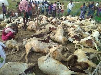UP-63-sheep-death-under-mysterious-circumstances-in-Badaun
