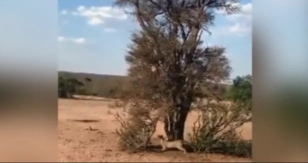 Cheetah climbed on tree to attack monkey, jumped in the air and hit swoop, see full video