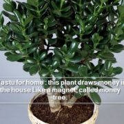 Vastu for home - this plant draws money in the house Like a magnet, called money tree.