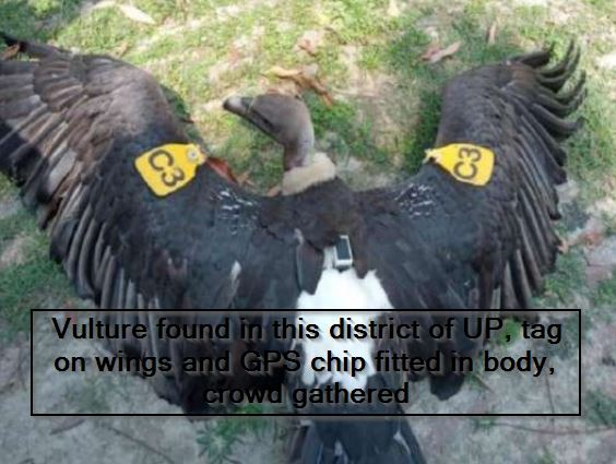 Vulture found in this district of UP, tag on wings and GPS chip fitted in body, crowd gathered
