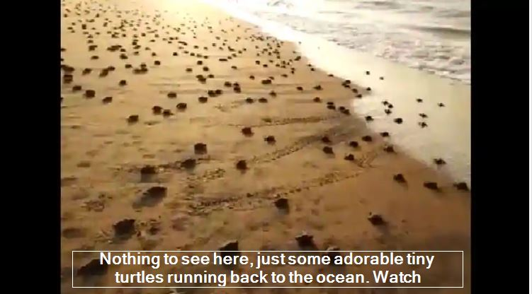 Nothing to see here, just some adorable tiny turtles running back to the ocean. Watch