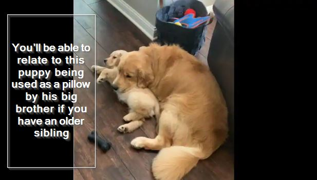 You'll be able to relate to this puppy being used as a pillow by his big brother if you have an older sibling