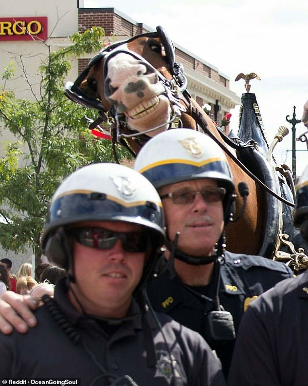Say cheese! This rather ecstatic horse showed off its teethy grin when people took a photograph of it with some police officers in the US