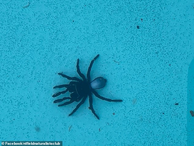 Frightening moment woman finds 20 venomous mouse spiders in her swimming pool in Darwin