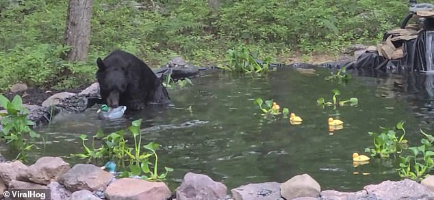 A black bear plays with a life-like plastic duck in a koi pond in Jim Thorpe, Pennsylvania, after mistakenly thinking the model had