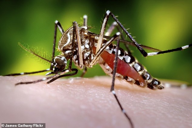 An aedes aegypti, also known as thethe yellow fever mosquito. It canthat can spread dengue fever, chikungunya, Zika fever, Mayaro and yellow fever viruses