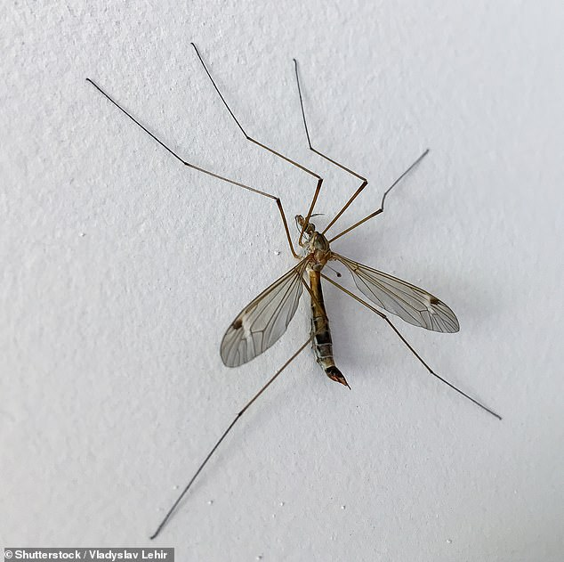 Homeowners are warned to brace for onslaught of more than 200billion daddy long legs