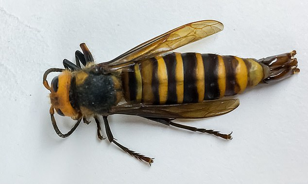 Murder hornets could spread 'rapidly' across US if action not taken