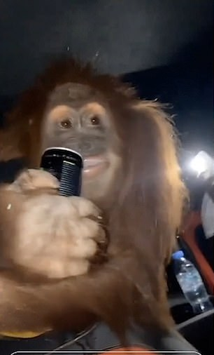Partying Britons feed orangutan a can of energy drink as they drive through the streets of Dubai