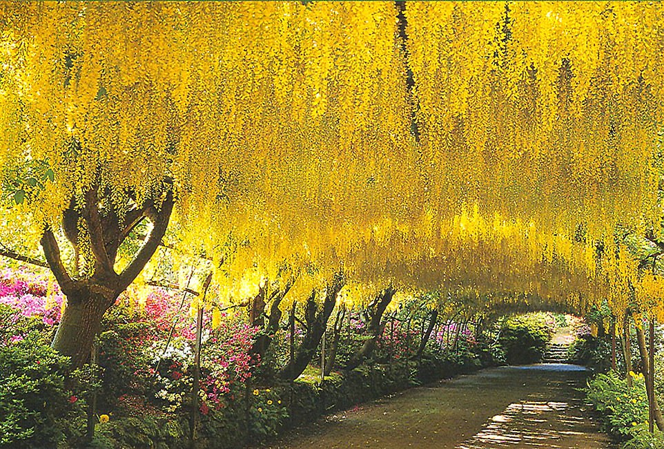 The Laburnum Arch inBodnant Garden, North Wales.The vibrant yellow flowers usually attract 50,000 visitors when they bloom for just three weeks each spring