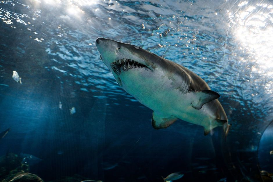 Why the coronavirus vaccine could be a threat to sharks | The NY Journal