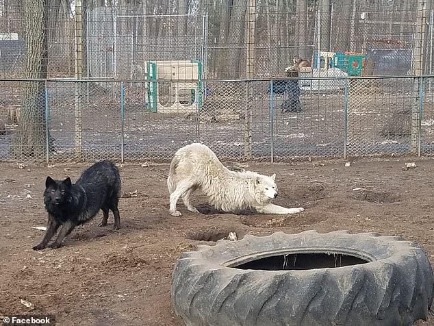 Brenda Pearson founded the Howling Timbers animal sanctuary (dogs pictured at the sanctuary) in West Bloomfield, Michigan, where Sophia lost a portion of her arm