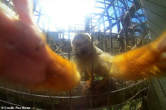 The squirrel monkey successfully reached out its enclosure and grabbed the camera after three failed attempts