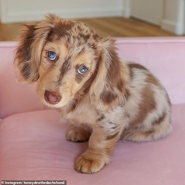Adorable six-month-old dachshund puppy becomes a social media star