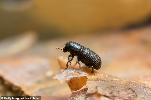 Beetles have eaten through MILLIONS of acres of trees leaving dead timber igniting Creek Fire