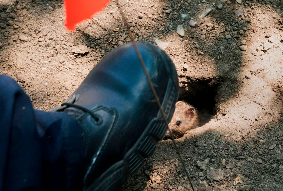 Bronx man falls into rat's nest because of a hole in the sidewalk | The NY Journal