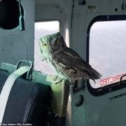 California owl catches lift in a water dropping helicopter as its home burns in the Creek Fire