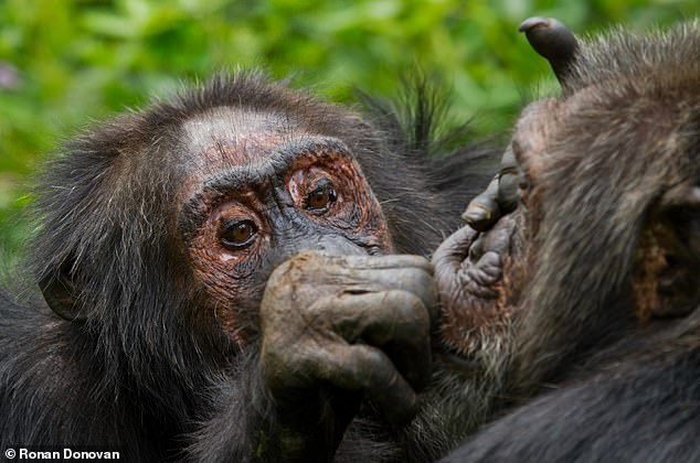 Chimps get fussier about friends as they get older – like humans do