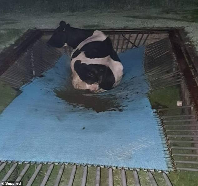 Cow that escaped South Gippsland property in Victoria found stuck on trampoline