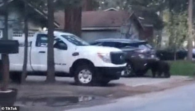 Hilarious moment bear pops opens a pickup truck's door, climbs in and then gets locked inside