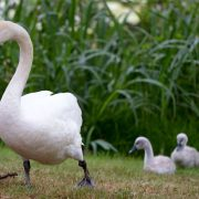 Lakeland, the city in the United States that is selling its swans | The opinion