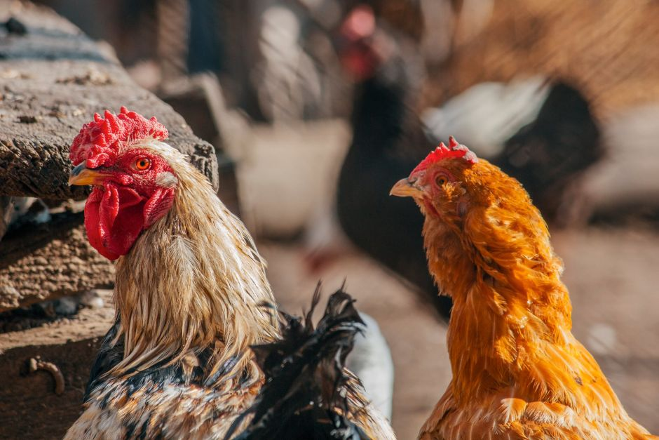 Man is sentenced to 3 years in prison for having sex with chickens   The NY Journal