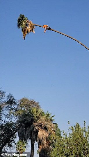 Man trying to trim a 100-foot palm tree is flung across the sky as he chops off leaves
