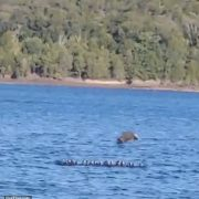 Moment a bald eagle swoops down and plucks duck out of a lake after stalking the flock for an hour