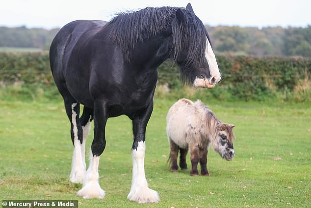 My little pony pal: Huge Shire horse becomes stable mates with Shetland pony who's HALF her size