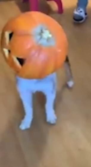 Naughty puppy gets his head stuck inside a Halloween pumpkin