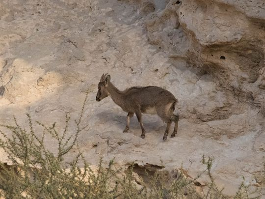 Night animal species monitored at UAE's Jebel Hafeet Reserve in Al Ain