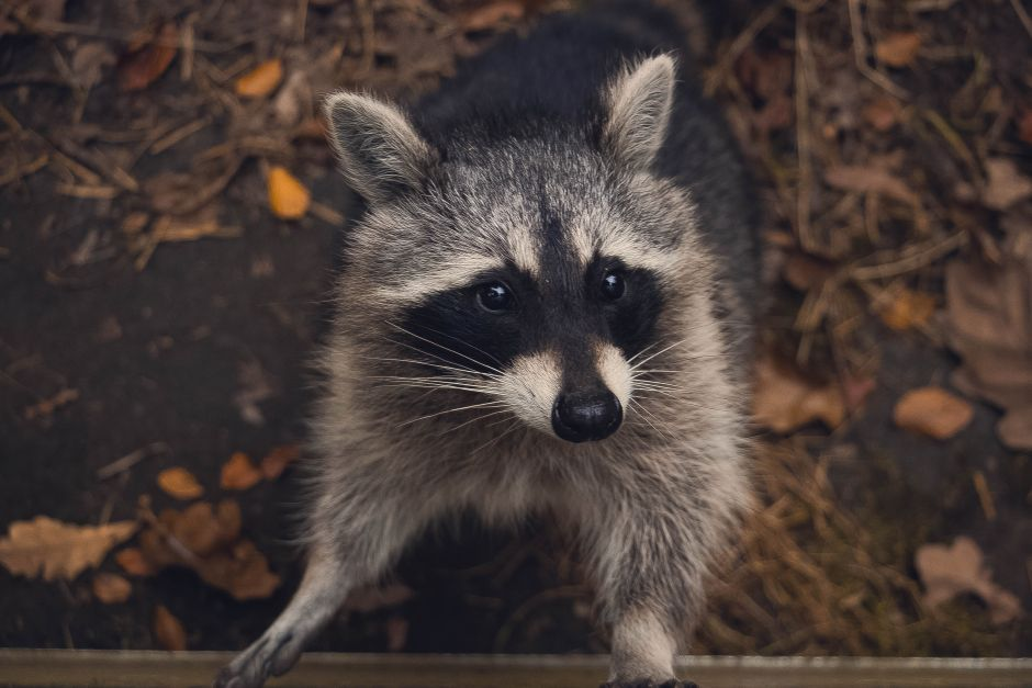 Reporter confronts aggressive raccoon in the White House | The opinion