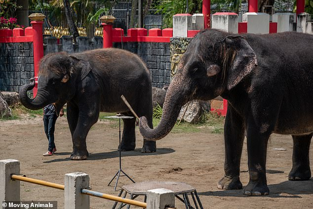 Shocking footage shows pair of elephants forced to perform tricks and play musical instruments