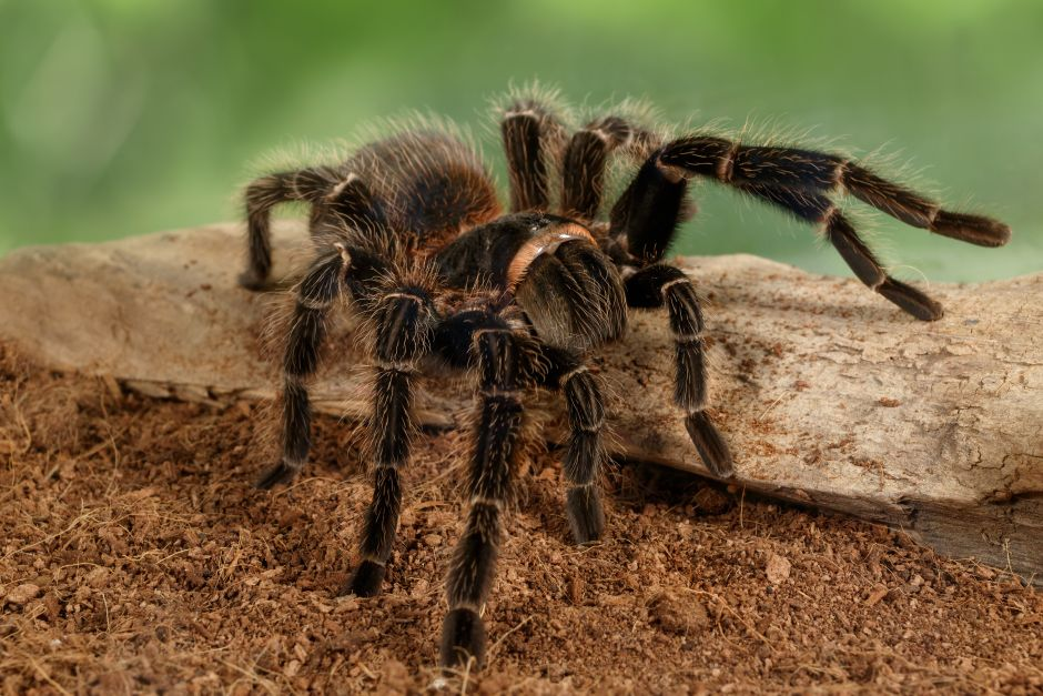 They claim to have seen tarantulas with wings in some cities in the US and Mexico | The NY Journal