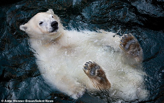 Very chilled! Smiling polar bear lazily floats belly-up in a pool of water