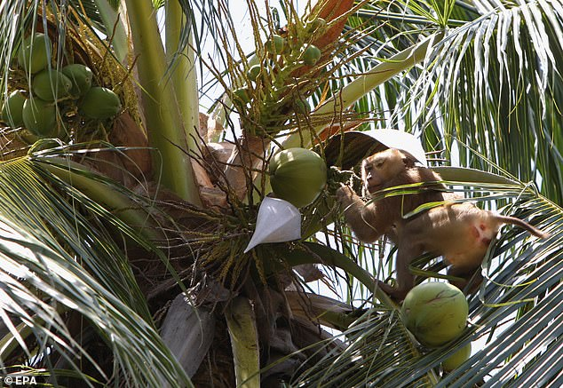 A monkey harvests coconuts at the Monkey Theatre in Samui Island, Surat Thani province