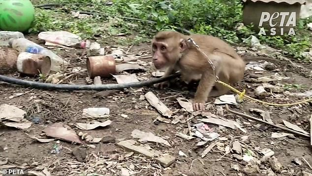 PETA investigators visited eight farms where monkeys are forced to pick coconuts-including those for Thailand's major coconut milk producers. At each one, they documented that these sensitive animals were abused and exploited