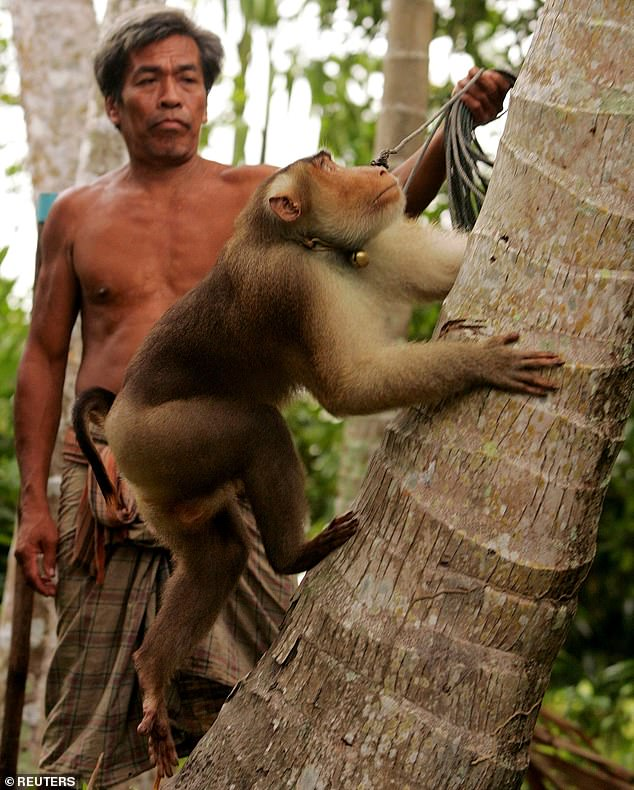 A monkey on a leash climbs a coconut tree to collect coconuts for his owner in Thailand's largely Muslim Narathiwat province (file photo from 2004)