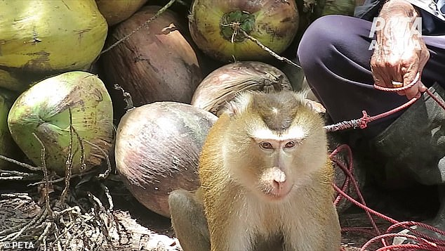 Terrified young monkeys are forced to perform frustrating and difficult tasks, such as twisting heavy coconuts until they fall off the trees from a great height. An investigator learned that if monkeys try to defend themselves, their canine teeth may be pulled out