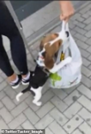 The puppy attaches himself onto the handles with his front paws and walks along the pavement on his hind legs beside Natalia