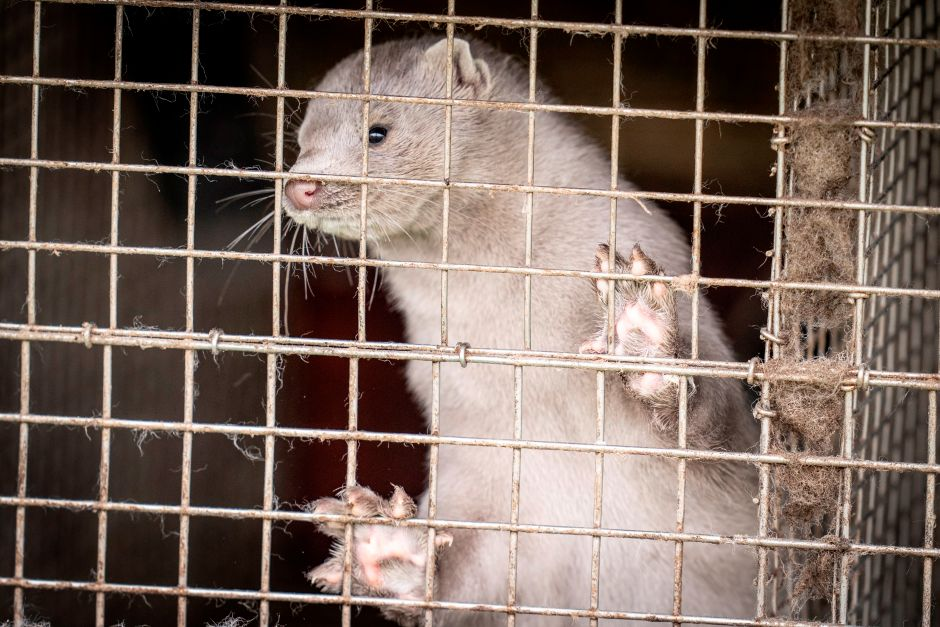 Coronavirus mutation alarm in Denmark after being transmitted by mink | The NY Journal