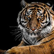 Photographer manages to capture one of the 8 black tigers that live on the planet   The NY Journal