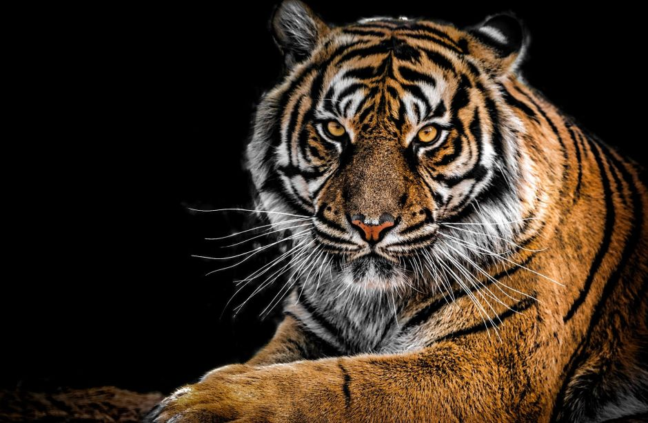 Photographer manages to capture one of the 8 black tigers that live on the planet | The NY Journal