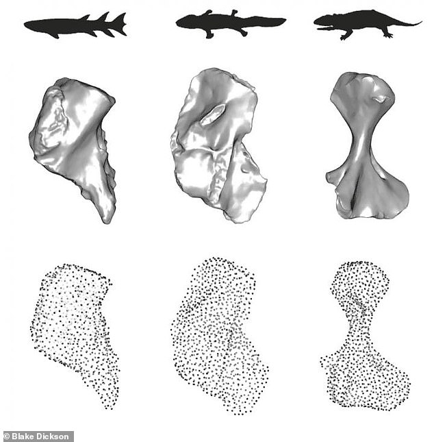 They found that an early 'L-shaped' humerus (middle) derived from the blocky bone of fish (left) provided some benefit for moving on land — but not much. The pioneering creatures had a long way to go before they developed the ability to use their limbs with ease. Later, the bone transformed into a more robust, elongated and twisted form (right) — leading to more effective gaits that helped to fuel new biological diversity and the expansion of ecosystems