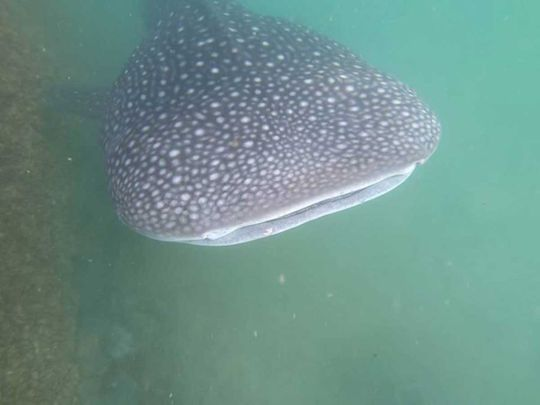7-metre whale shark spotted in Abu Dhabi