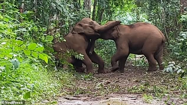 Baby elephants slap each other over the head with their trunks in adorable play fight