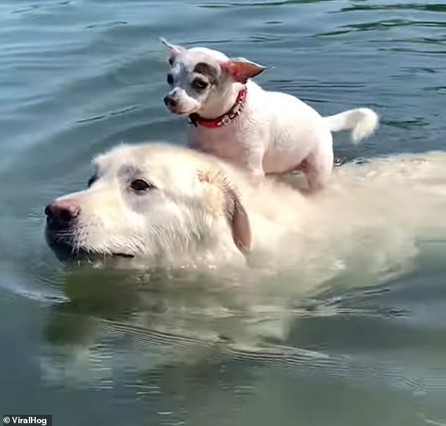 Bark Spitz! Cute video shows dog swimming in pool while carrying chihuahua on his back