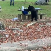 Black bear steals picnic cooler from Tennessee parkseating area