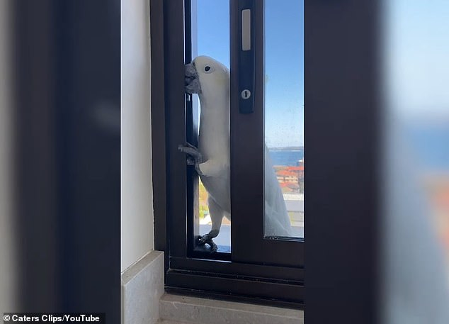 Cheeky cockatoo says 'hello' to a Sydney homeowner after breaking into their house