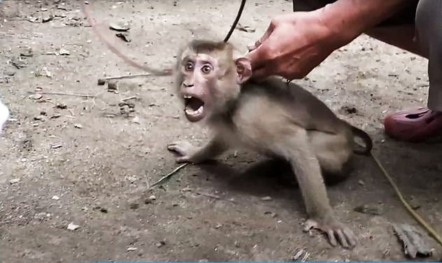 Costco drops Chaokoh coconut milk allegations of forced monkey labor which sees the animals chained